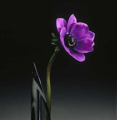 anemone robert mapplethorpe still life