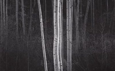 Ansel Adams Aspen Trees
