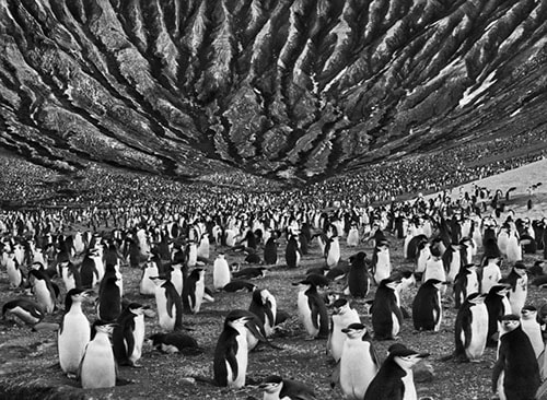 Sebastiao Salgado Penguins