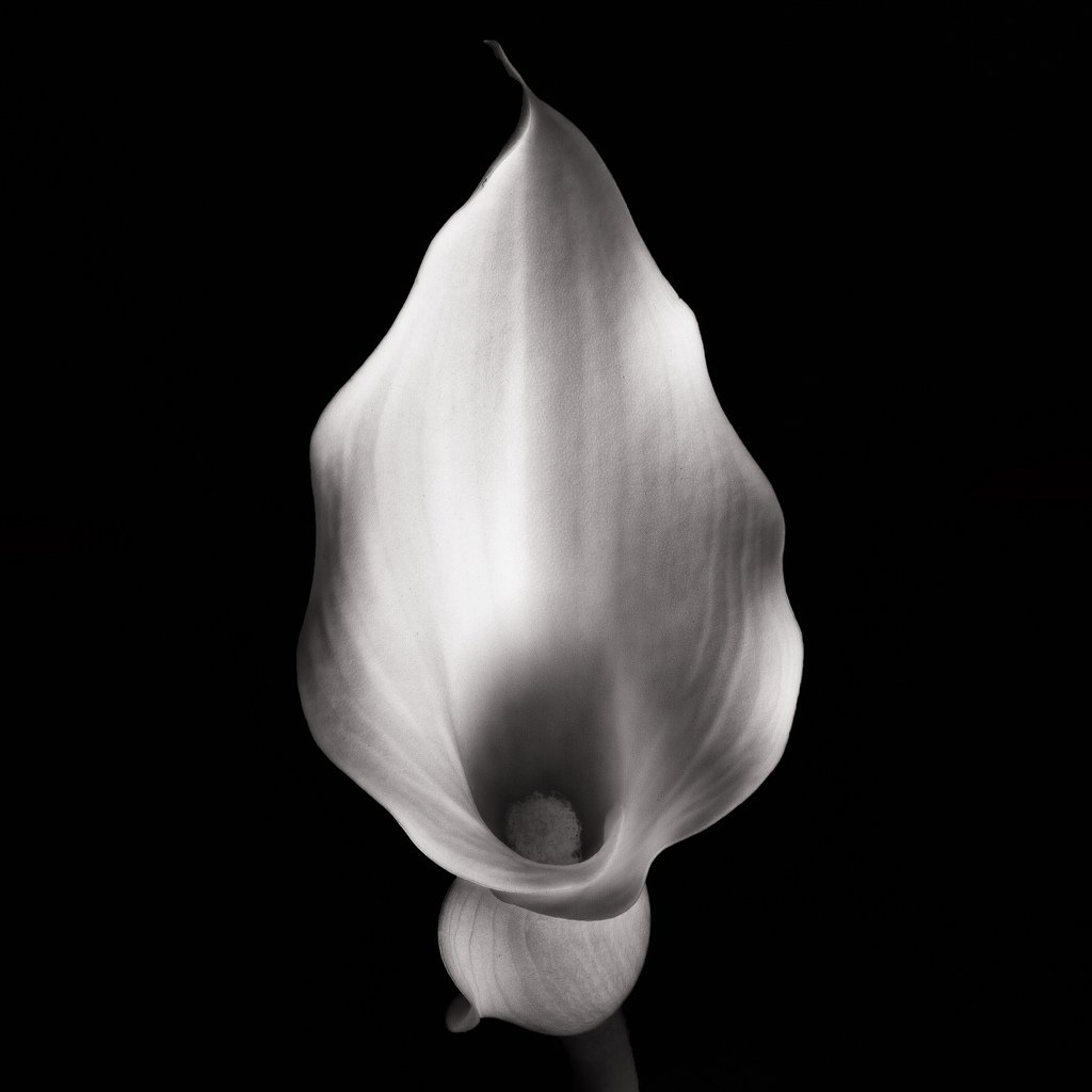Calla iv bwvision art and craftsmanship in bw photography